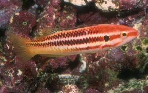 Izuhogfish.jpg