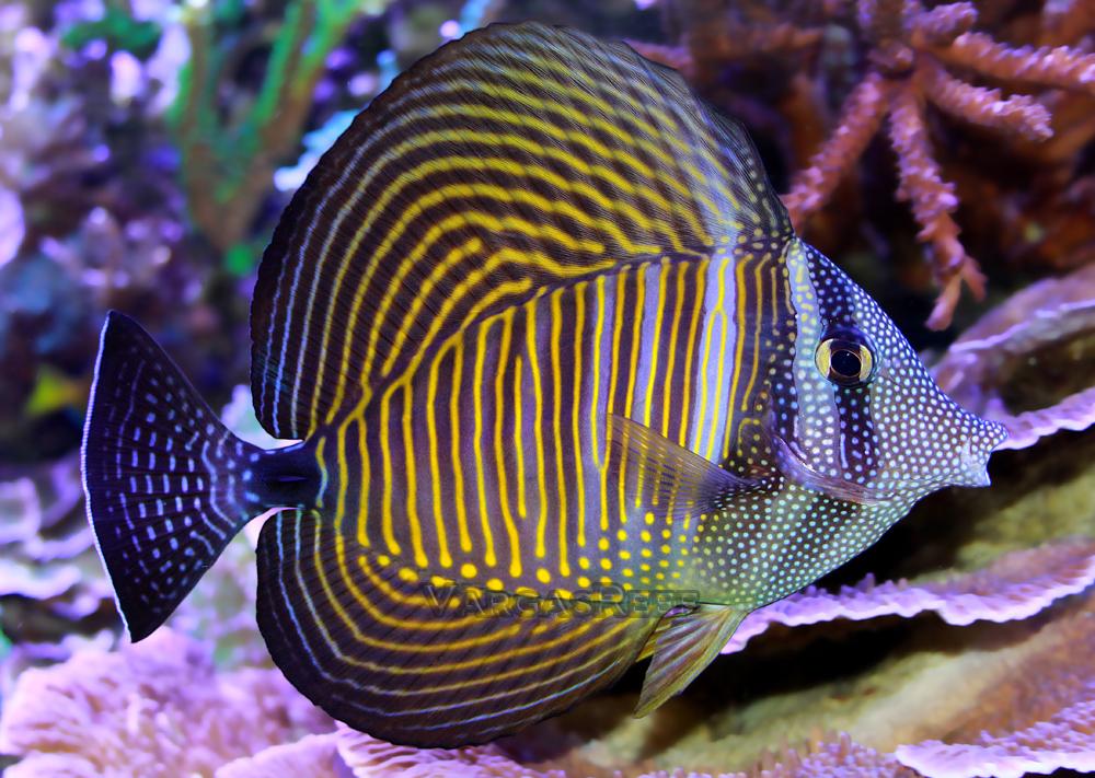 Terence Fugazzi 210 Reef Reefs Com