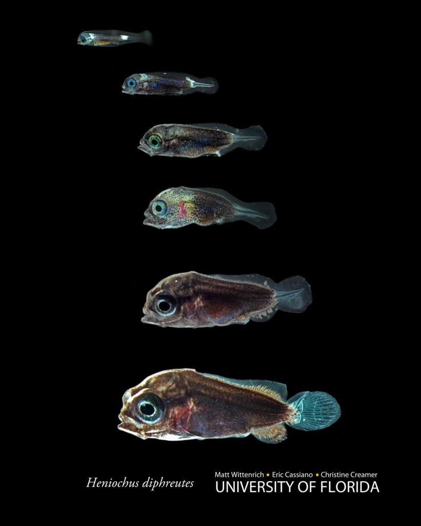 Larval Heniochus diphreutes, the Schooling Bannerfish, courtesy Wittenrich et. al.