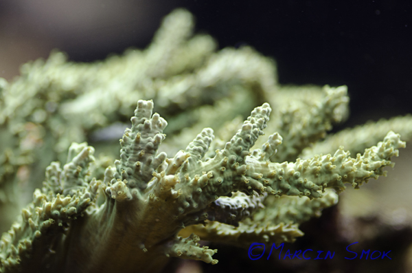 soft coral2