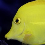 Looking Back on an Aquaculture Success Story: Captive Breeding the Yellow Tang