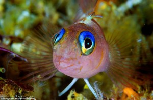 Gorgeous: A blue-eyed triplefin fish, whose Latin name is Notoclinops caerulepunctus captured on camera in New Zealand by National Geographic photographer Brian Skerry