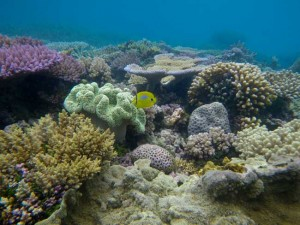 """AUSTRALIA will declare the world's biggest marine reserve - with the Coral Sea the jewel in the crown - on top of a AU$100 million buy-out for the besieged fishing industry according to the Herald Sun. Furious commercial fishers and charter operators say the move to protect more than 2.3 million sq km of ocean in marine parks will doom their trade and end in a skyrocketing price and more imported seafood for consumers. However Protect Our Coral Sea and marine conservation groups such as the Pew Foundation welcomed the proclamation as """"one of the most significant"""" in the nation's conservation history. Under the plan, no new """"on-the-water"""" changes will come into effect until July 2014 after the next federal election, after which the Coalition has promised to revoke any declaration should it win government. The average recreational angler in a runabout is unlikely to be affected with the closest new """"no-go zones"""" 440km out from Brisbane, 330km from Townsville, and 210km from Cairns. Commercial operators in the Coral Sea and the Gulf of Carpentaria including tuna long-liners and prawn trawlers out of Mooloolaba, Cairns and Karumba, will negotiate over a $100 million fisheries adjustment package. """"Australia is a world leader when it comes to protecting our oceans,"""" Mr Burke said. """"And so we should be, we've got responsibility for more of the ocean than almost any other country on Earth. """"Many of the world's endangered marine animals including green turtle, blue whale, southern right whale, Australian sea lion and the whale shark are found in these protected waters,"""" Mr Burke said. Most of 80,000 submissions supported the national marine network plan - that will eventually cover an area roughly equal to Australia's land mass, he said. Catch-and-release fishing practised by the marlin fishing game boats will still be allowed in the Coral Sea except in the designated green zone over the eastern half of the proposed marine park. Outraged third-generation aquarium collector L"""
