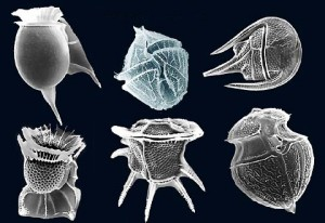 dinoflagellates.  Image: Fickleandfreckle
