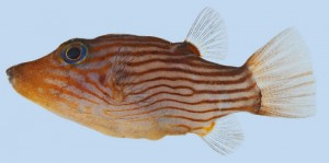 This is a specimen of the Striped toby, Canthigaster criobe, about 3.9 cm long from Gambier Archipelago (J.T. Williams)