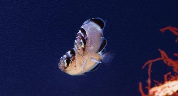 Genicanthus-watanabe-juv-pair-females1