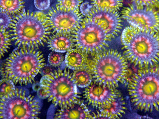 Rare Zoanthids