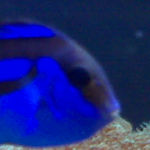 What Effect Will 'Finding Dory' Have on Blue Hippo Tangs?