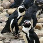 Waddling for Penguins