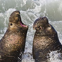 Northern elephant seals by Mike Baird