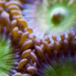 Designer Zoanthid and Palythoa