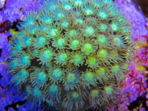 Jazzy bright green polyps, hardy, fast growing.