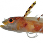 Science Happens: New Caribbean Deepwater Blenny Found