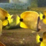Milletseed Butterflyfish update