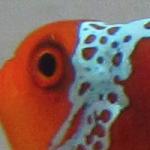 Lightning Maroon Clownfish Playdate