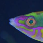 Unknown Pseudojaloides Pencil Wrasse