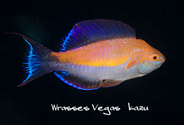 A terminal male C. lunatus in full flash mode. Note the crescent tail.  Photo by Vegas kazu.