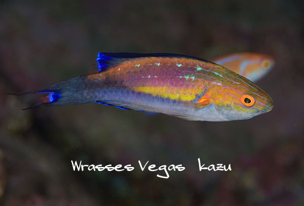 A male Cirrhilabrus lunatus; notice the actinic-like lines. Photo by Vegas kazu