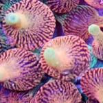 Cherry Corals Colorado Sunburst Bubble Tip Anemones Wow in Person