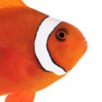 ORA Blood Orange Clownfish a Hybrid Between Gold Stripe Maroon and Ocellaris Clowns