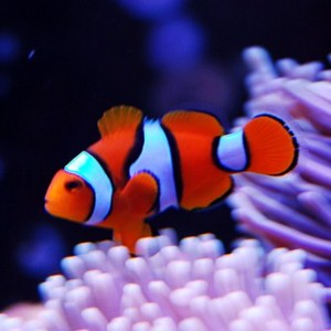 Orange clownfish by CrisiRose Wikipedia