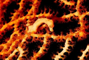 Pygmy seahorse by Jenny Huang