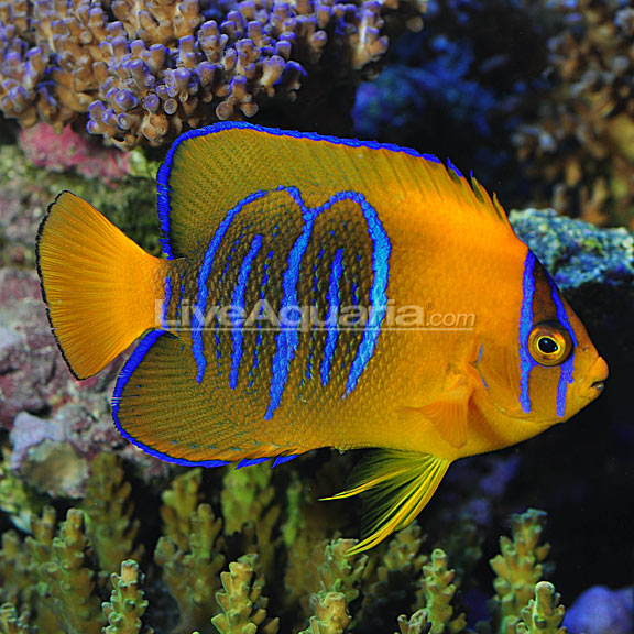 Captive Bred Clarion Angelfish Listed And Immediately Sold