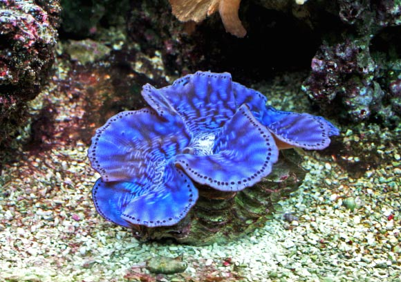 Tridacna maxima, a close relative of the newly discovered giant clam. Image credit: Karelj.