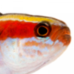 Overnight Sensation: New Captive-bred Reef Fish from ORA