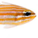 ORA Yellowstriped Cardinalfish Now Available in Small Numbers