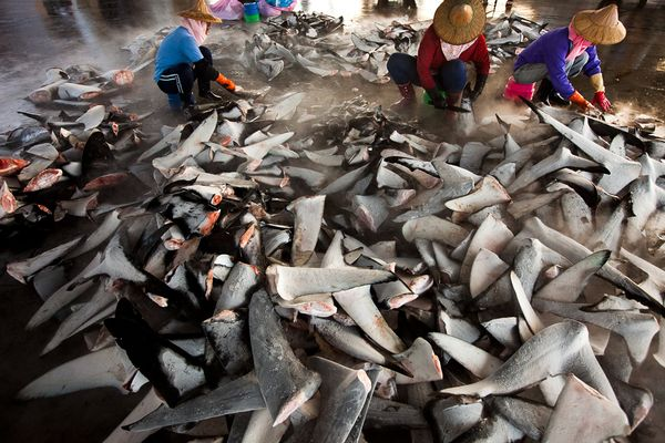 shark-fins-taiwan-parts_42722_600x450