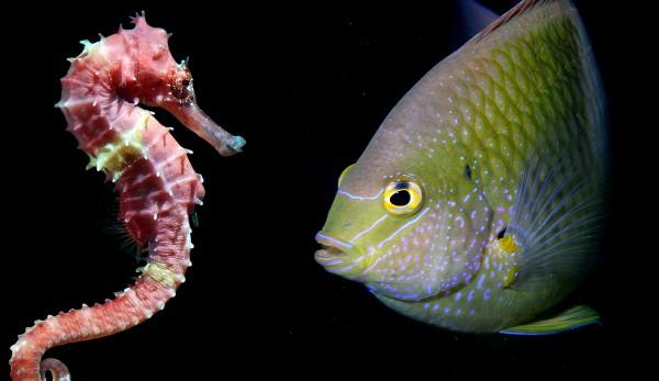 Image Seahorse-vs-normal-fish-evolution-600x347.jpg