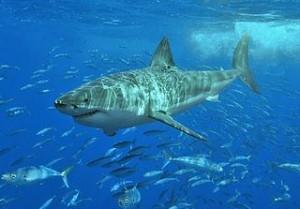 White_shark by Terry Goss