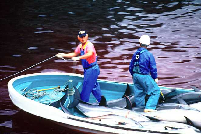 dolphin_slaughter_taiji_japan_the_cove_brooke_mcdonald_17
