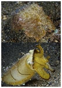 cuttlefish by Nick Hobgood