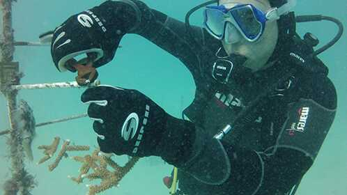 """Cutting Staghorn Coral Acropora cervicornis fragments from the nursery """"coral trees"""""""