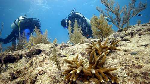 The author and Ken hard at work transplanting nursery corals at the Pickles Reef