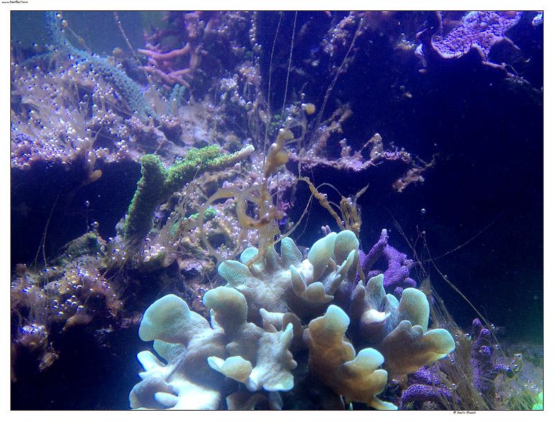 dinoflagellati in acquario ed il suo rimedio