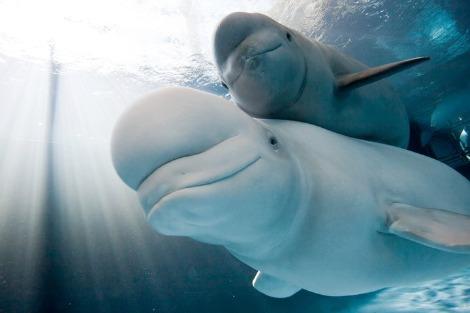 Beluga Whales at the Shedd Aquarium