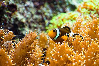 clown-fish-reef-lg