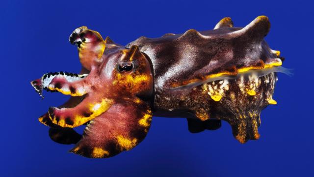 Flamboyant cuttlefish (Metasepia pfeffer )