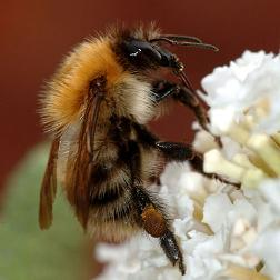 Bumblebee_closeup by mark burnett resize