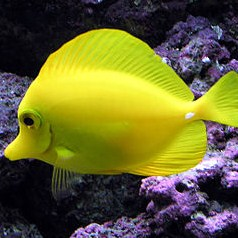 Yellow tang public domain square