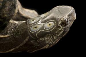 Four-eyed turtle (Sacalia quadriocellata) at the Tennessee Aquarium.