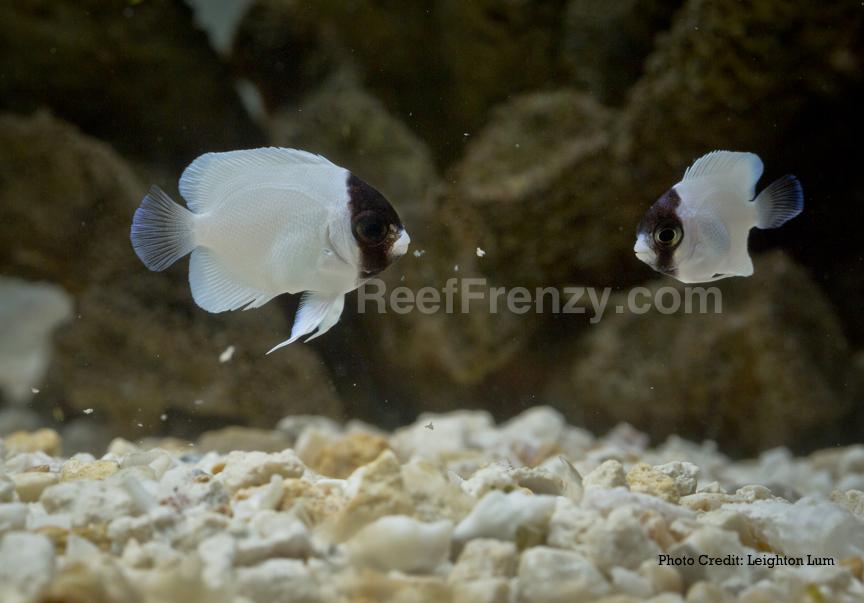 Manhattan reefs lrs frenzy foods for Lrs fish food