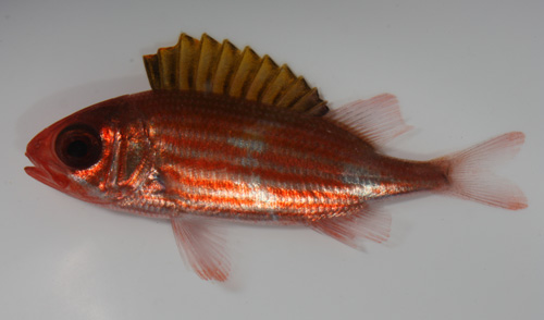 The common squirrelfish, Holocentrus adscensionis