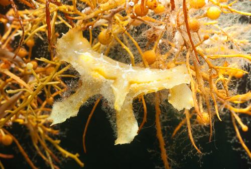 Sargassum Nudibranch Scyllaea pelagica, feeding on hydroids
