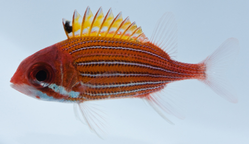 Sargocentron bullisis, the Deepwater Squirrelfish. Caught in Southampton, NY