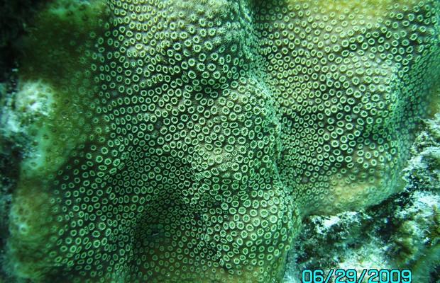 O faveolata polyps.3624d4b5