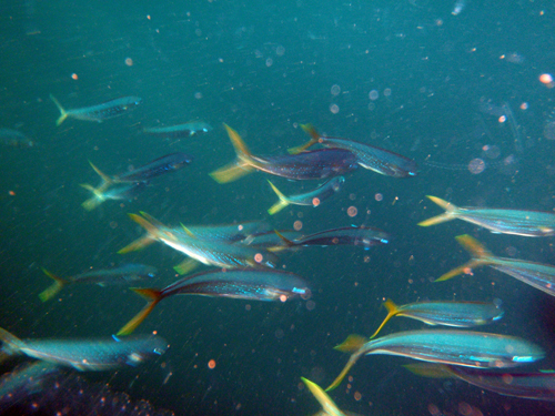 A school of young Mahi-mahi. Captain Greg patiently waited while I jumped in to photograph them.